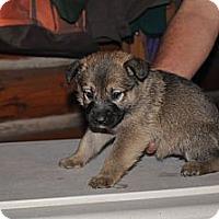 Adopt A Pet :: Abby - Hamilton, MT