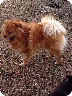 Pomeranian Dog for adoption in Cranford, New Jersey - Rocky