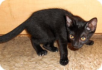 Domestic Shorthair Kitten for adoption in Chattanooga, Tennessee - Donelle