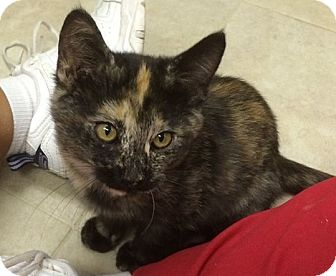 Domestic Shorthair Kitten for adoption in Ogallala, Nebraska - Bonnie