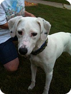 Dalmatian/Labrador Retriever Mix Dog for adoption in Decatur, Georgia - Dottie (Guest)
