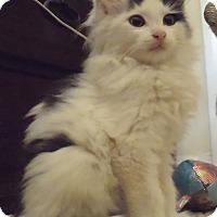 Adopt A Pet :: Spanky- Adoption Pending! - Arlington, VA