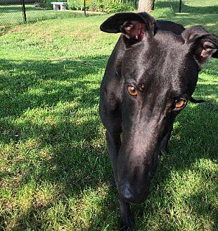 Greyhound Dog for adoption in Swanzey, New Hampshire - Tom