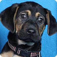 Adopt A Pet :: Jada - Minneapolis, MN