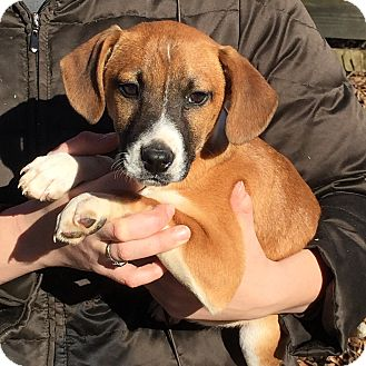 Beagle Mix Puppy for adoption in Pewaukee, Wisconsin - Antonio