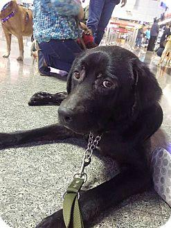 Labrador Retriever/Golden Retriever Mix Dog for adoption in San Ramon, California - Lucky
