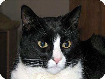 Domestic Shorthair Cat for adoption in Wakefield, Massachusetts - Felix