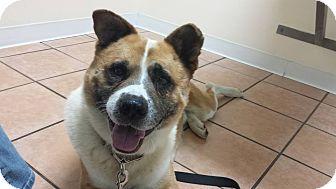 Akita/Border Collie Mix Dog for adoption in Virginia Beach, Virginia - Ronin