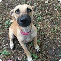 Adopt A Pet :: Ginger - Fair Oaks Ranch, TX