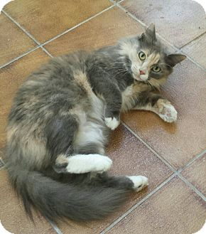 Domestic Mediumhair Cat for adoption in Cherry Hill, New Jersey - Angelica