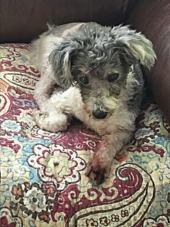 Poodle (Miniature)/Shih Tzu Mix Dog for adoption in Lehigh, Florida - Patch