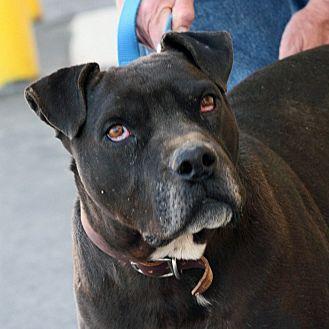 American Bulldog Mix Dog for adoption in Palmdale, California - Buddy