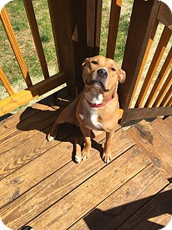 Pit Bull Terrier Mix Dog for adoption in Columbia, Tennessee - Sawyer