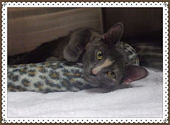 Domestic Shorthair Cat for adoption in Marietta, Georgia - Jolene