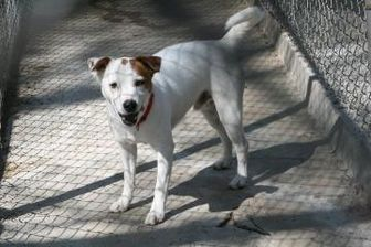 Jack Russell Terrier Mix Dog for adoption in Wichita, Kansas - woody