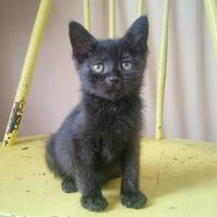 Domestic Shorthair/Domestic Shorthair Mix Cat for adoption in Chicago, Illinois - Lilly