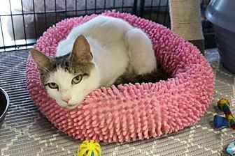 Domestic Shorthair Cat for adoption in Yardley, Pennsylvania - Crystal