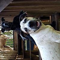 Adopt A Pet :: Oscar Water Dog Extraordinaire! - Rowayton, CT