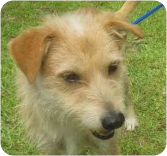 Wirehaired Fox Terrier Mix Dog for adoption in Upper Marlboro, Maryland - Leo