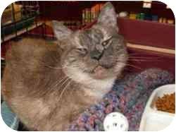 Domestic Shorthair Cat for adoption in Pasadena, California - Puff