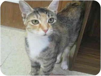 Domestic Shorthair Kitten for adoption in Randolph, New Jersey - Gianna
