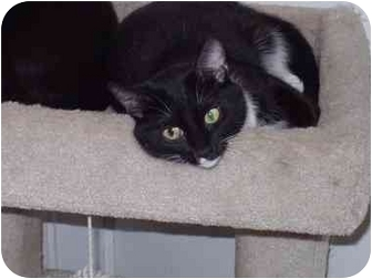 Domestic Shorthair Cat for adoption in Chicago, Illinois - Folly