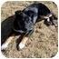 Photo 3 - Shepherd (Unknown Type)/Australian Cattle Dog Mix Puppy for adoption in Broomfield, Colorado - Poppy