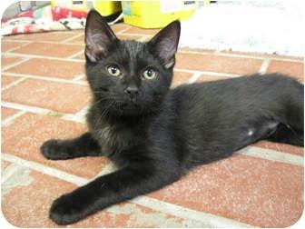 Domestic Shorthair Kitten for adoption in Centerburg, Ohio - Dreamer
