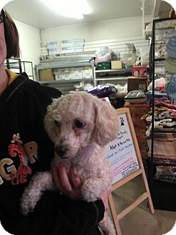 Poodle (Miniature) Mix Dog for adoption in Las Vegas, Nevada - Missy