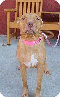 Pit Bull Terrier/Labrador Retriever Mix Dog for adoption in Austin, Minnesota - Eva