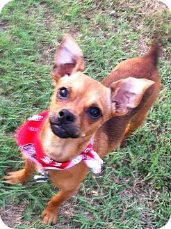 Chihuahua/Dachshund Mix Dog for adoption in Somers, Connecticut - Scooter
