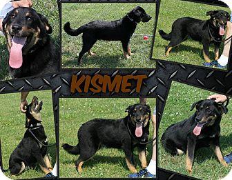 Rottweiler/Border Collie Mix Puppy for adoption in Cincinnati, Ohio - Kismet: Hamilton