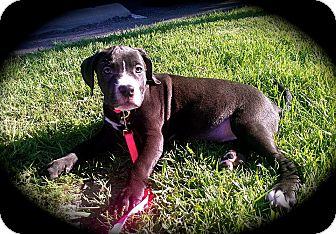 Bullmastiff/Pit Bull Terrier Mix Puppy for adoption in Cypress, California - SCOUT