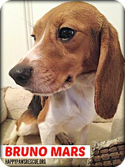 Beagle Dog for adoption in South Plainfield, New Jersey - Bruno Mars