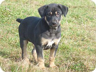 "Retriever (Unknown Type)/Hound (Unknown Type) Mix Puppy for adoption in Abbotsford, British Columbia - ""Nala"""