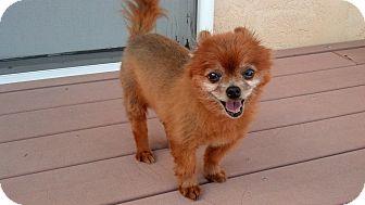 Pomeranian Mix Dog for adoption in Gilbert, Arizona - Tavi