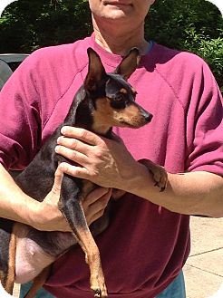 Manchester Terrier Mix Dog for adoption in Washington, Pennsylvania - Zoey