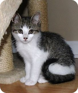 Domestic Shorthair Kitten for adoption in Turnersville, New Jersey - Brie