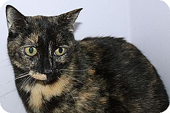 Domestic Shorthair Cat for adoption in Stevensville, Maryland - Katie