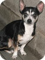 Chihuahua/Rat Terrier Mix Dog for adoption in Sparta, New Jersey - Rocco