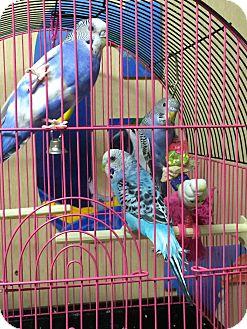 Parakeet - Other for adoption in Woodbridge, New Jersey - Spike, Inko, Kiki