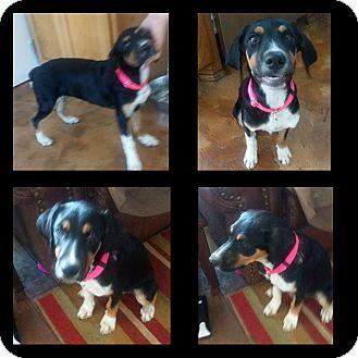 Shepherd (Unknown Type)/Rottweiler Mix Dog for adoption in Wichita Falls, Texas - Gracie Mae