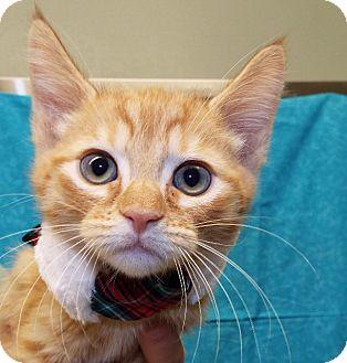 Domestic Shorthair Kitten for adoption in Grants Pass, Oregon - Parker