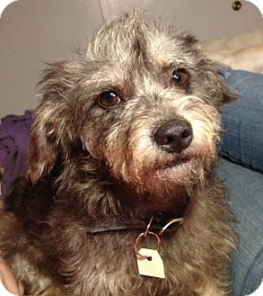 Terrier (Unknown Type, Small)/Poodle (Miniature) Mix Dog for adoption in El Cajon, California - HIGGINS