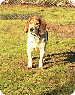 Beagle Dog for adoption in West Point, Mississippi - Peter
