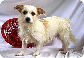 Yorkie, Yorkshire Terrier Mix Dog for adoption in Maryville, Illinois - Vivian