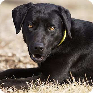 Labrador Retriever Mix Dog for adoption in Columbia, Illinois - Jem