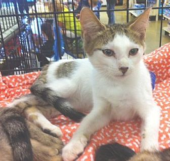 Domestic Shorthair Cat for adoption in Cocoa, Florida - Skeeter