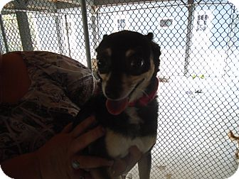 Chihuahua/Rat Terrier Mix Dog for adoption in Somerset, Pennsylvania - Zoey