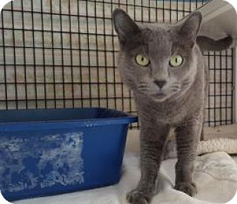 Domestic Shorthair Cat for adoption in Denver, Colorado - Joanna